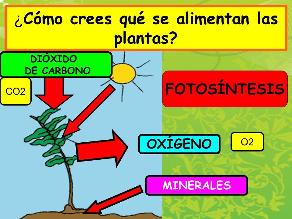 ¿ Cómo crees qué se alimentan las plantas? FOTOSÍNTESIS DIÓXIDO DE CARBONO O2 CO2 OXÍGENO MINERALES