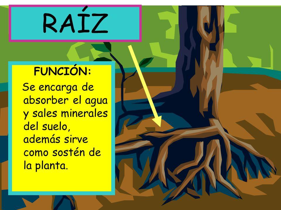 FUNCIÓN: Se encarga de absorber el agua y sales minerales del suelo, además sirve como sostén de la planta.