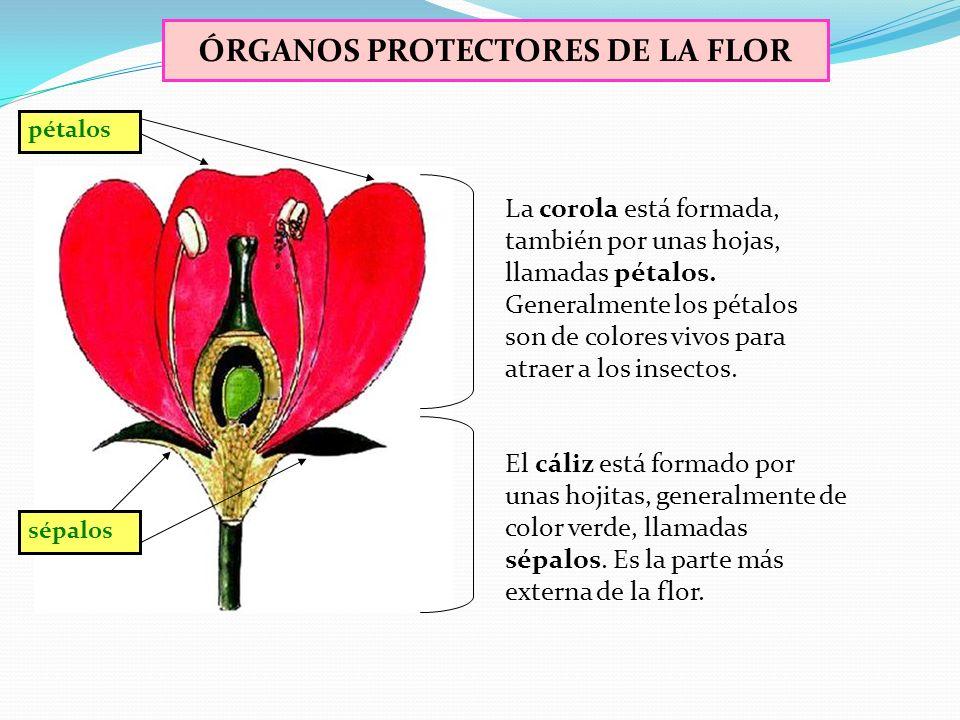 LAS FLORES En una flor típica podemos distinguir las siguientes partes: El cáliz y la corola, que son los elementos protectores de la flor. Los estamb