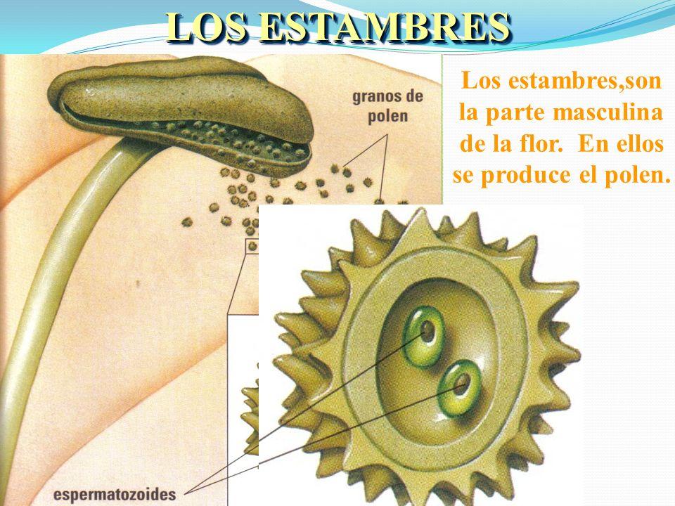 ÓRGANOS REPRODUCTORES DE LA FLOR Los estambres son los órganos reproductores masculinos. Cada estambre está formado por un filamento con una bolsita e