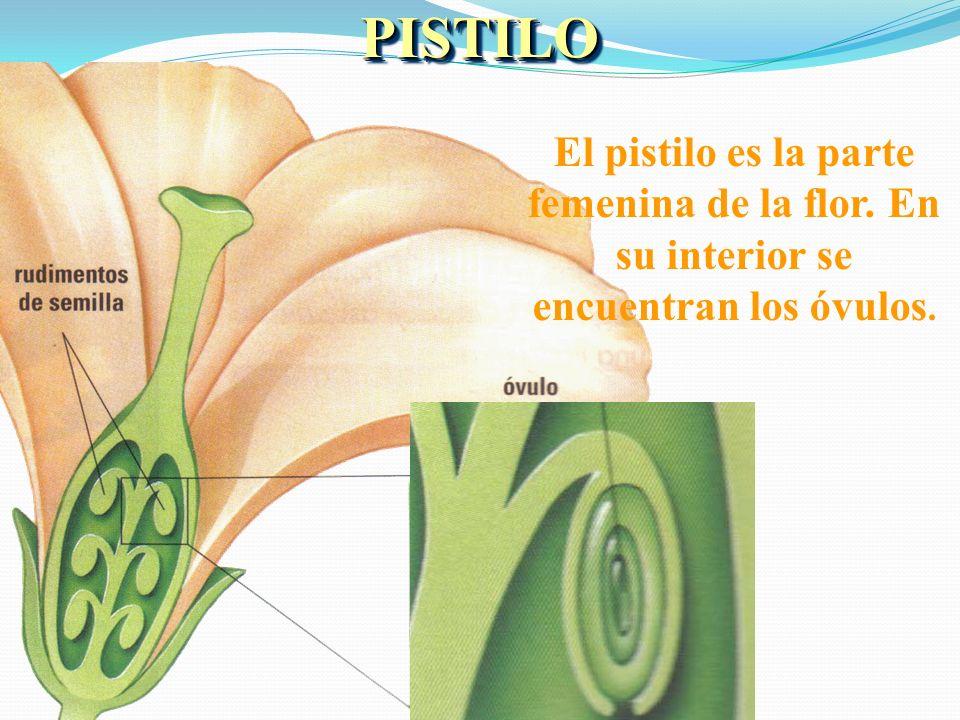 LOS ESTAMBRES Los estambres,son la parte masculina de la flor. En ellos se produce el polen.