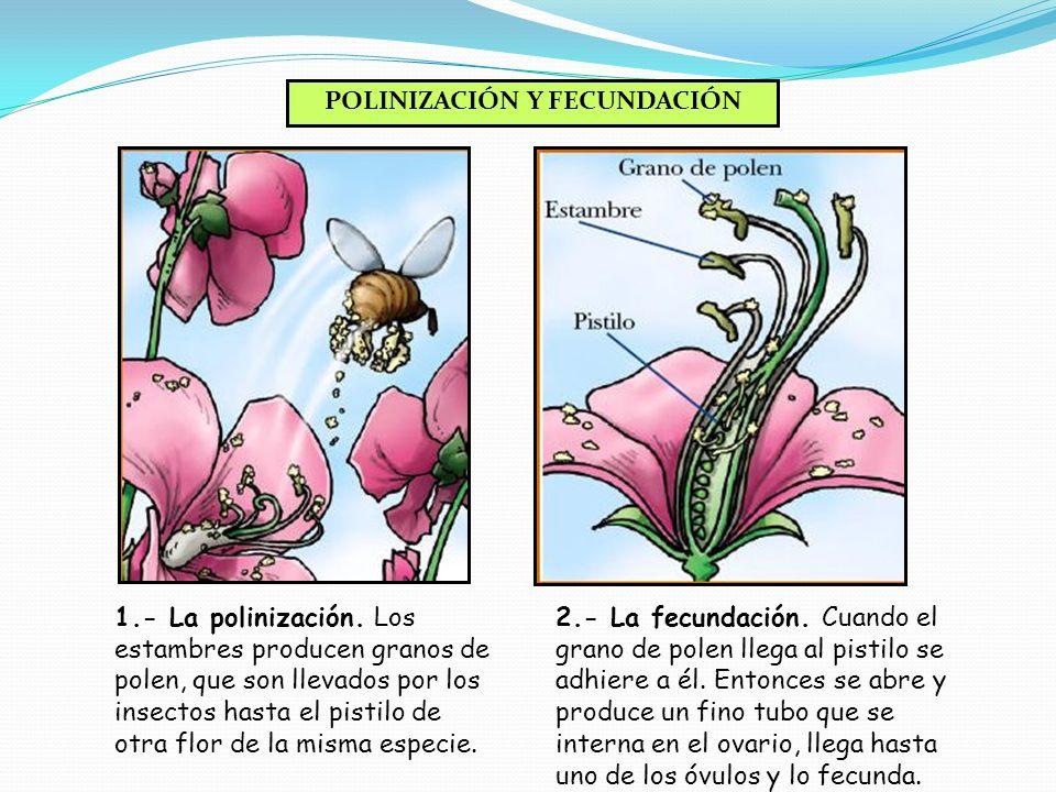 PISTILOPISTILO El pistilo es la parte femenina de la flor. En su interior se encuentran los óvulos.