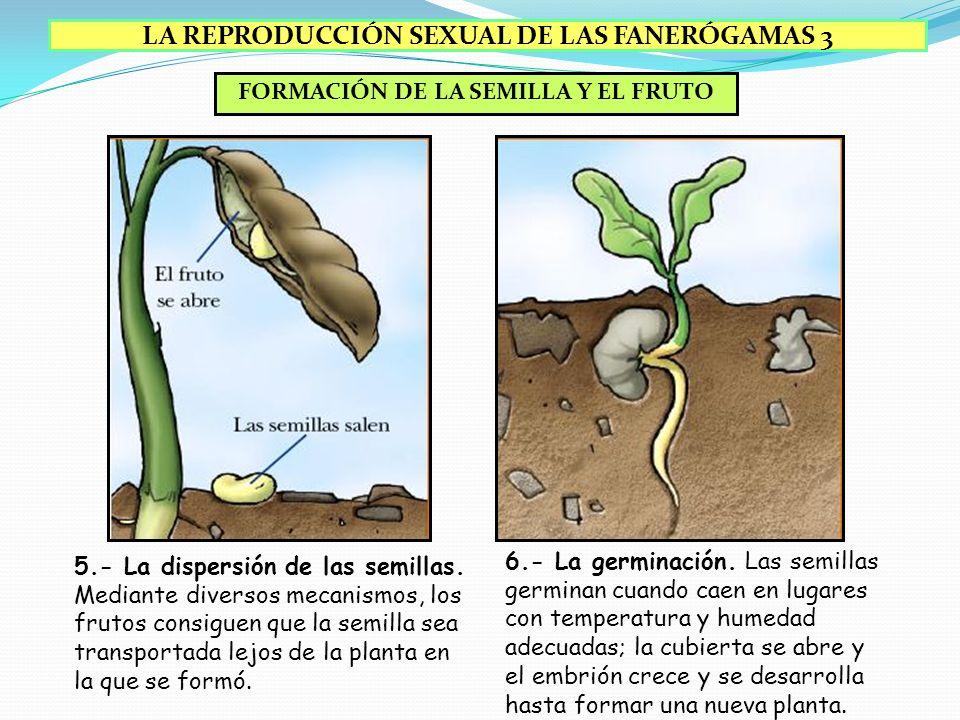 FORMACIÓN DE LA SEMILLA Y EL FRUTO 3.- La formación de la semilla. El cigoto desarrolla un embrión, que queda en reposo, rodeado por sustancias nutrit
