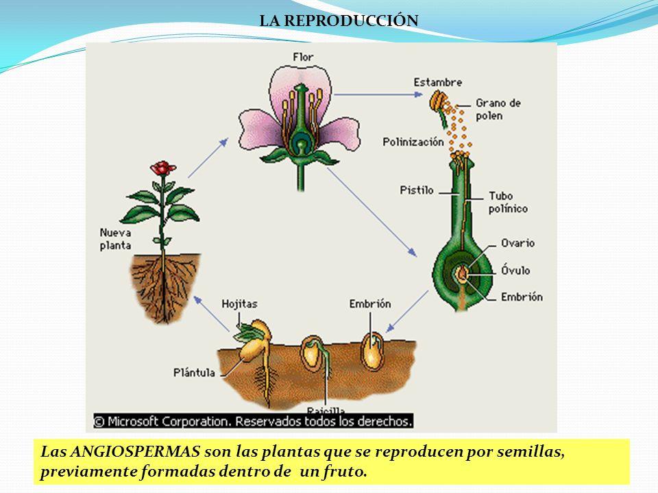 LA REPRODUCCIÓN SEXUAL DE LAS FANERÓGAMAS 3 FORMACIÓN DE LA SEMILLA Y EL FRUTO 5.- La dispersión de las semillas. Mediante diversos mecanismos, los fr