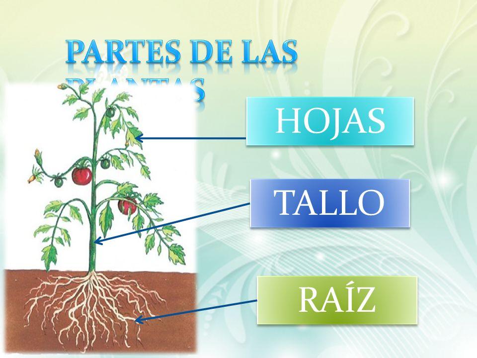 HOJAS TALLO RAÍZ