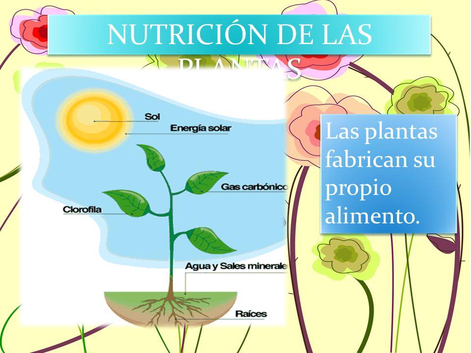 NUTRICIÓN DE LAS PLANTAS Las plantas fabrican su propio alimento.