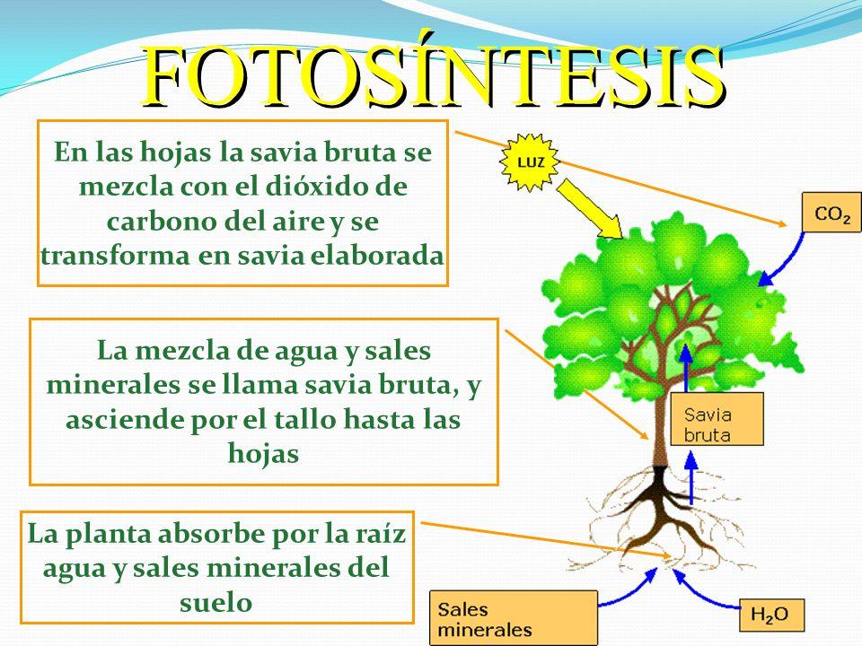 LA FOTOSÍNTESIS: Proceso por el cual las plantas fabrican sus propios alimentos. LA FOTOSÍNTESIS: Proceso por el cual las plantas fabrican sus propios