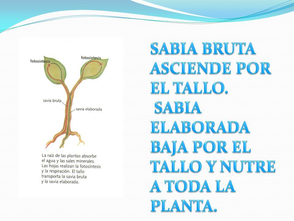 FOTOSÍNTESIS La planta absorbe por la raíz agua y sales minerales del suelo La mezcla de agua y sales minerales se llama savia bruta, y asciende por e