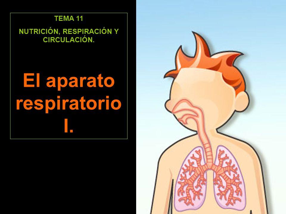 TEMA 11 NUTRICIÓN, RESPIRACIÓN Y CIRCULACIÓN. El aparato respiratorio I.