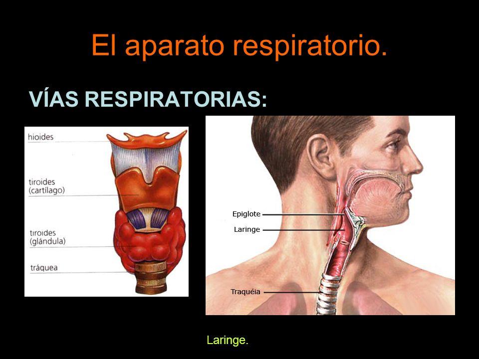 El aparato respiratorio. VÍAS RESPIRATORIAS: Laringe.