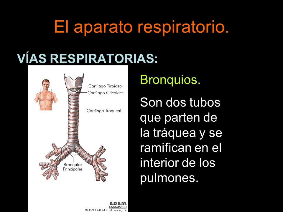 El aparato respiratorio. VÍAS RESPIRATORIAS: Bronquios. Son dos tubos que parten de la tráquea y se ramifican en el interior de los pulmones.