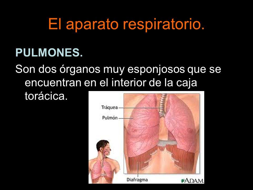 El aparato respiratorio. PULMONES. Son dos órganos muy esponjosos que se encuentran en el interior de la caja torácica.