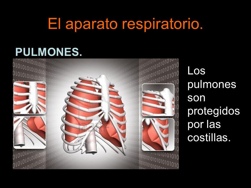 El aparato respiratorio. PULMONES. Los pulmones son protegidos por las costillas.