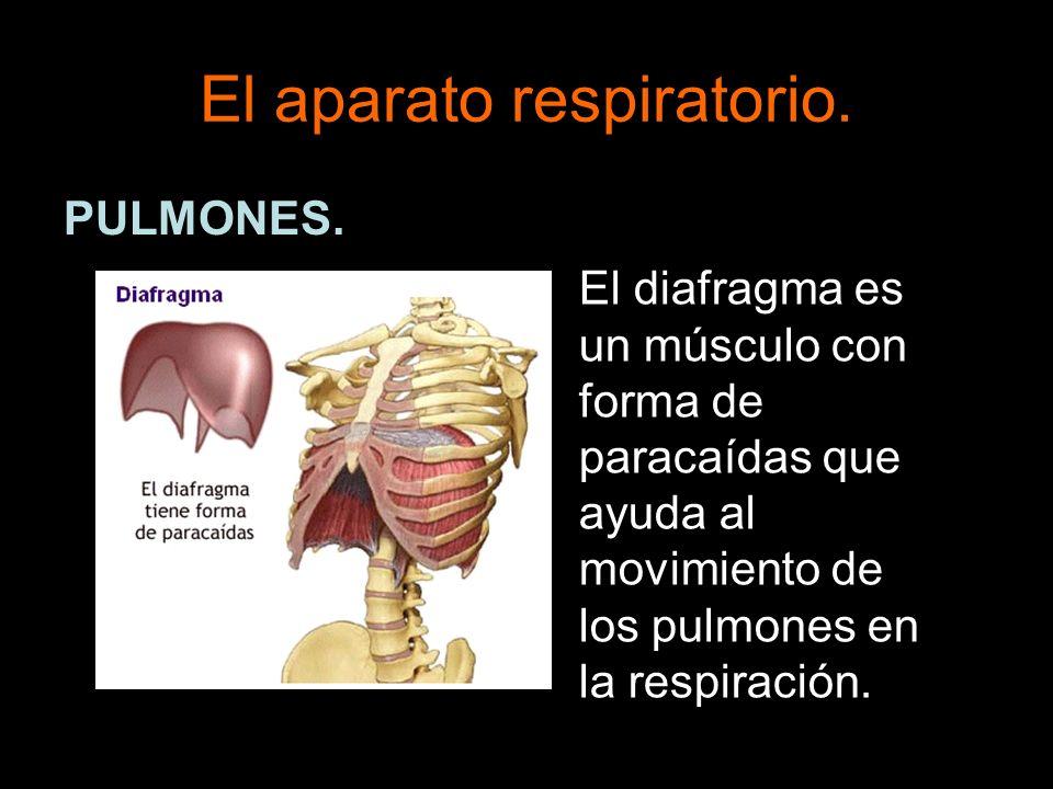El aparato respiratorio. PULMONES. El diafragma es un músculo con forma de paracaídas que ayuda al movimiento de los pulmones en la respiración.