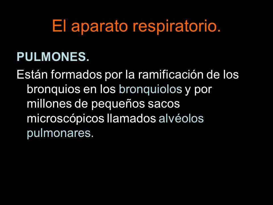 El aparato respiratorio. PULMONES. Están formados por la ramificación de los bronquios en los bronquiolos y por millones de pequeños sacos microscópic