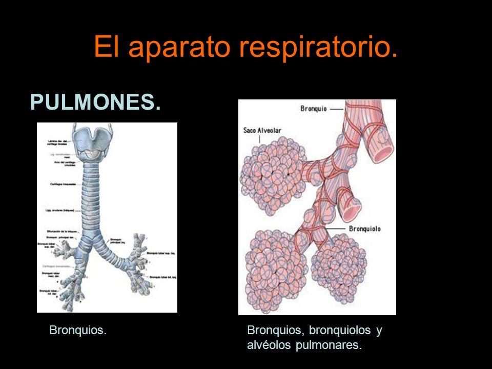 El aparato respiratorio. PULMONES. Bronquios.Bronquios, bronquiolos y alvéolos pulmonares.