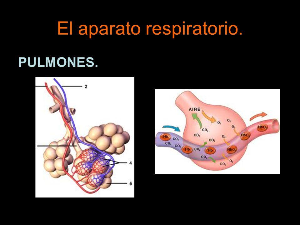 El aparato respiratorio. PULMONES.
