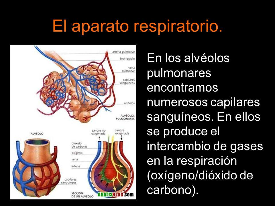 El aparato respiratorio. En los alvéolos pulmonares encontramos numerosos capilares sanguíneos. En ellos se produce el intercambio de gases en la resp