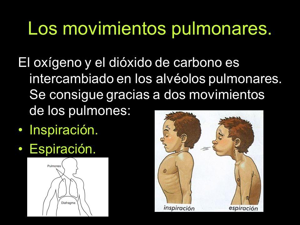 Los movimientos pulmonares. El oxígeno y el dióxido de carbono es intercambiado en los alvéolos pulmonares. Se consigue gracias a dos movimientos de l