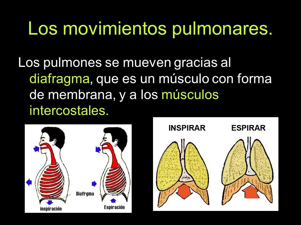 Los movimientos pulmonares. Los pulmones se mueven gracias al diafragma, que es un músculo con forma de membrana, y a los músculos intercostales.