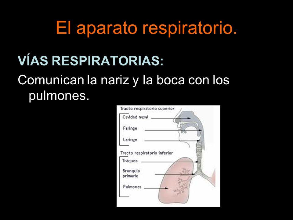 El aparato respiratorio. VÍAS RESPIRATORIAS: Comunican la nariz y la boca con los pulmones.
