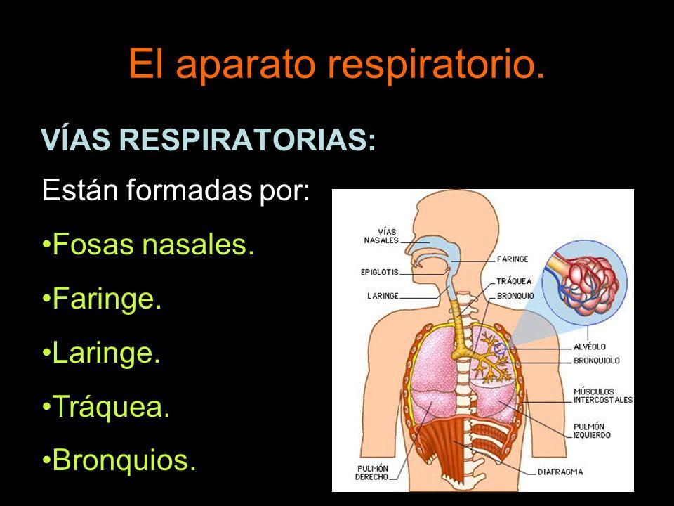 El aparato respiratorio. VÍAS RESPIRATORIAS: Están formadas por: Fosas nasales. Faringe. Laringe. Tráquea. Bronquios.