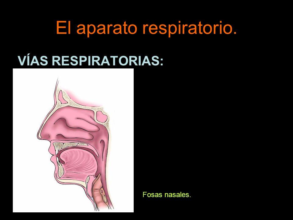 El aparato respiratorio. VÍAS RESPIRATORIAS: Fosas nasales.