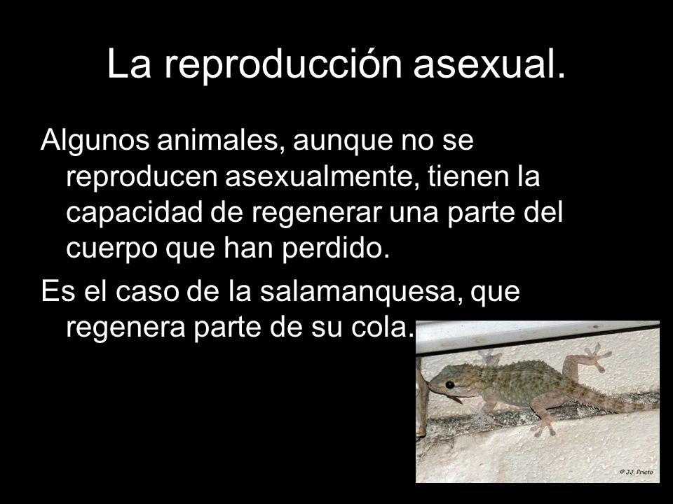 La reproducción asexual. Algunos animales, aunque no se reproducen asexualmente, tienen la capacidad de regenerar una parte del cuerpo que han perdido