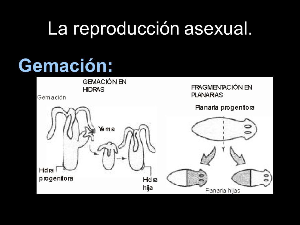 La reproducción asexual. Gemación: