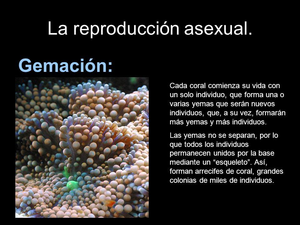 La reproducción asexual. Gemación: Cada coral comienza su vida con un solo individuo, que forma una o varias yemas que serán nuevos individuos, que, a