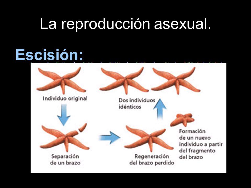 La reproducción asexual. Escisión: