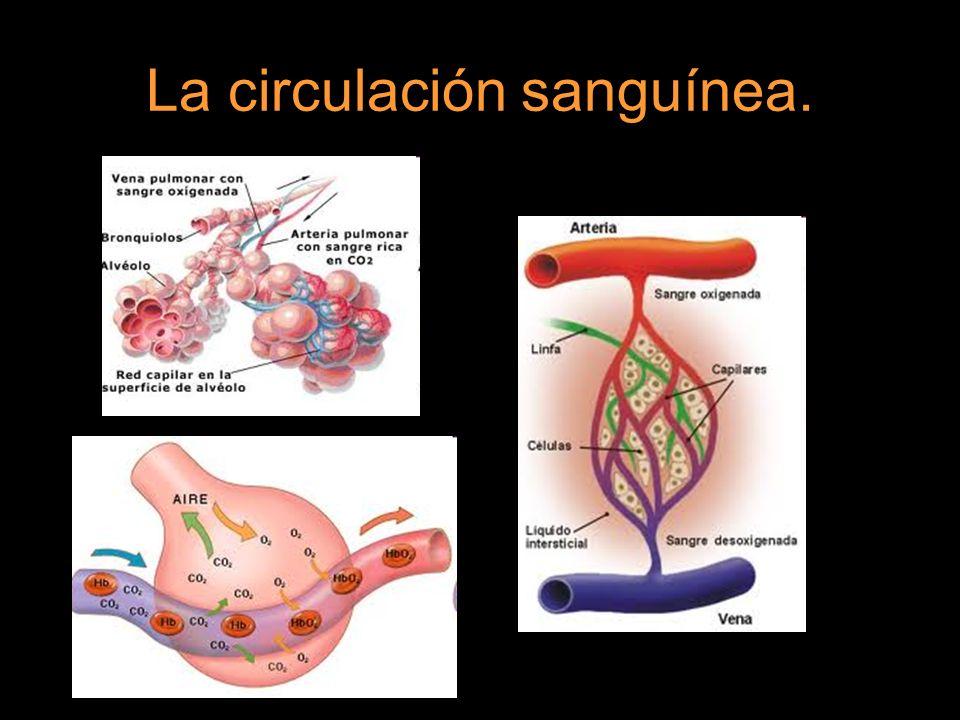 El aparato circulatorio está formado por: Corazón. Vasos sanguíneos. Sangre.