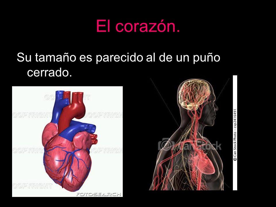 El corazón. Sus paredes están formadas por tejido muscular.