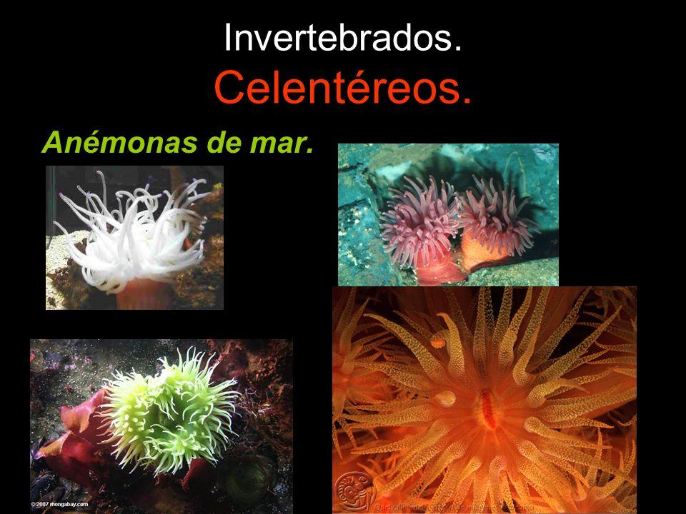 Invertebrados. Celentéreos. Anémonas de mar.