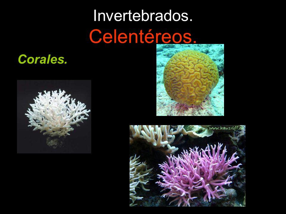 Invertebrados. Celentéreos. Corales.