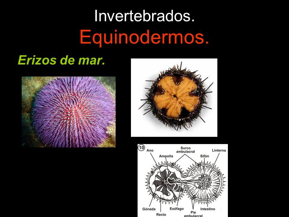 Invertebrados. Equinodermos. Erizos de mar.
