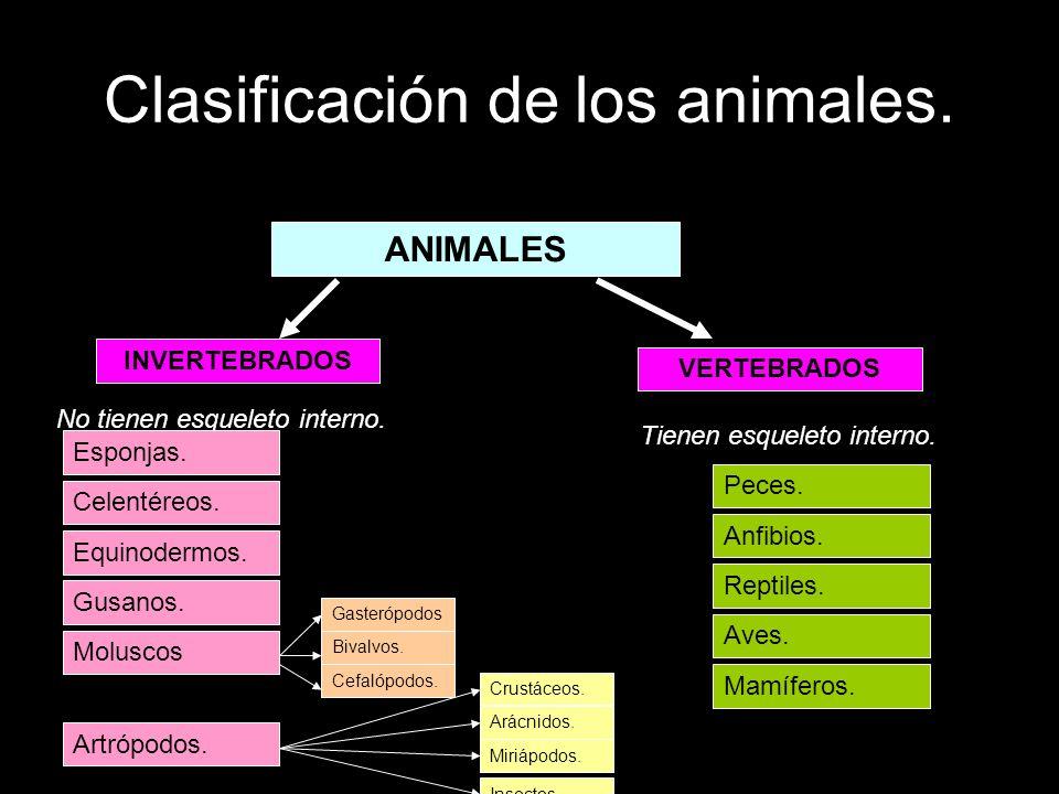 Clasificación de los animales. ANIMALES INVERTEBRADOS VERTEBRADOS No tienen esqueleto interno. Tienen esqueleto interno. Esponjas. Celentéreos. Equino