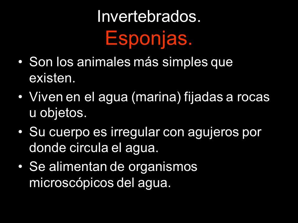Invertebrados. Esponjas. Son los animales más simples que existen. Viven en el agua (marina) fijadas a rocas u objetos. Su cuerpo es irregular con agu