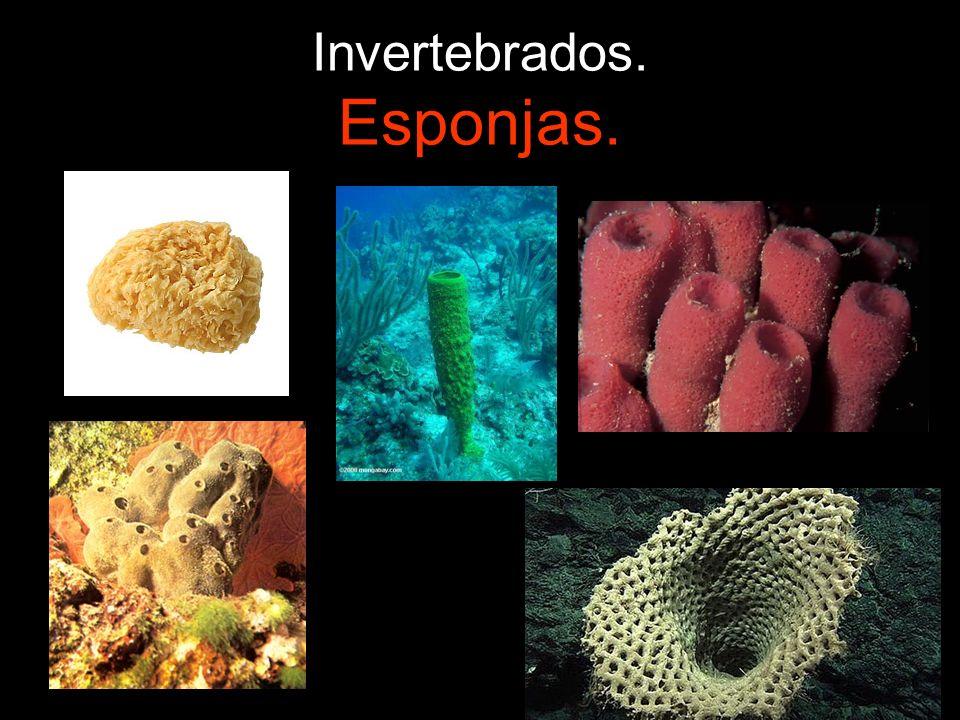 Invertebrados. Esponjas.