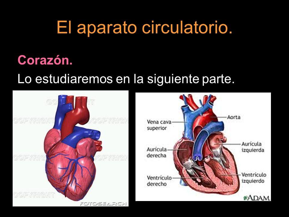 El aparato circulatorio. Corazón. Lo estudiaremos en la siguiente parte.