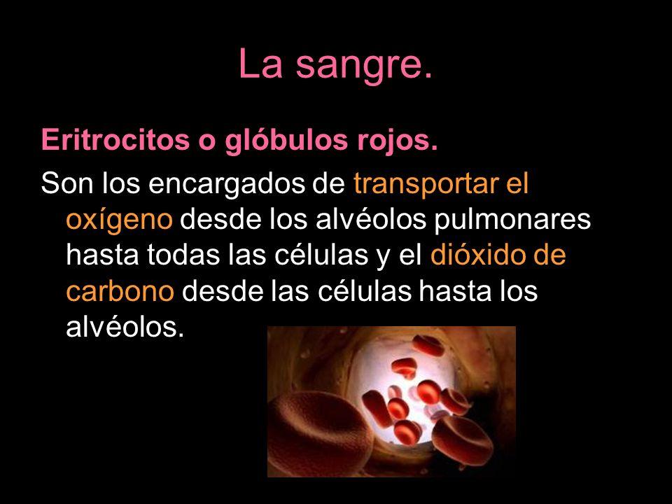 La sangre. Eritrocitos o glóbulos rojos. Son los encargados de transportar el oxígeno desde los alvéolos pulmonares hasta todas las células y el dióxi