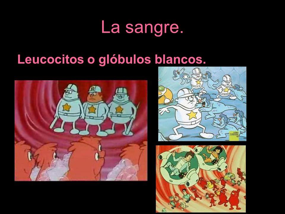 La sangre. Leucocitos o glóbulos blancos.