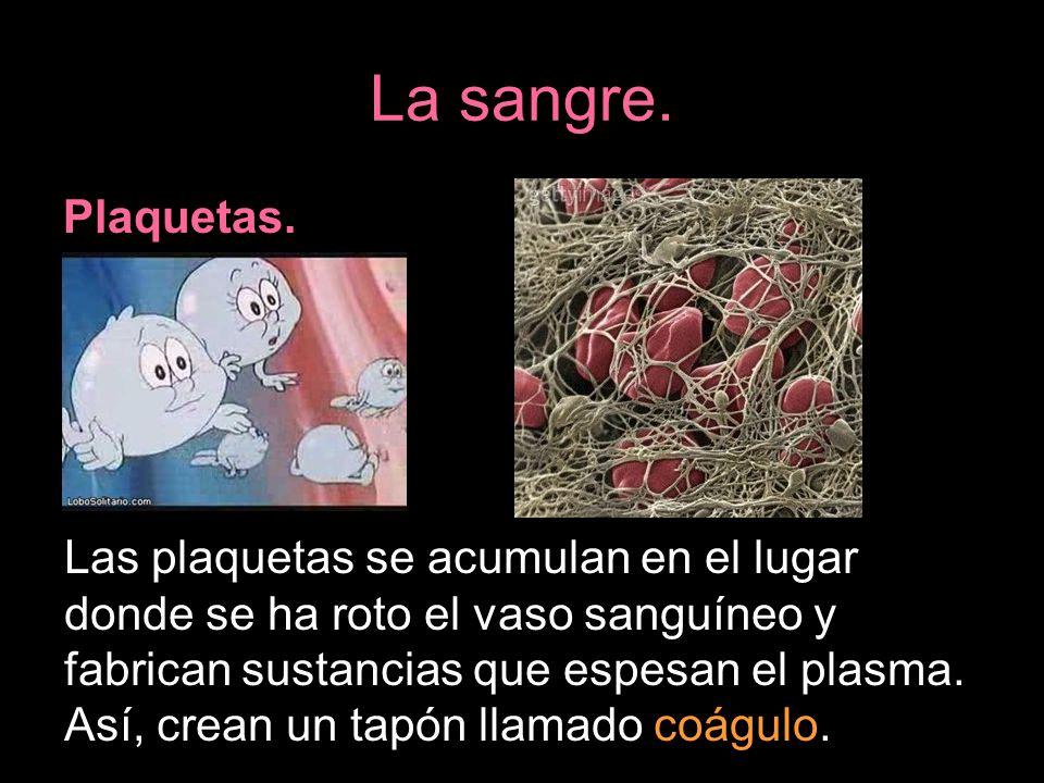 La sangre. Plaquetas. Las plaquetas se acumulan en el lugar donde se ha roto el vaso sanguíneo y fabrican sustancias que espesan el plasma. Así, crean