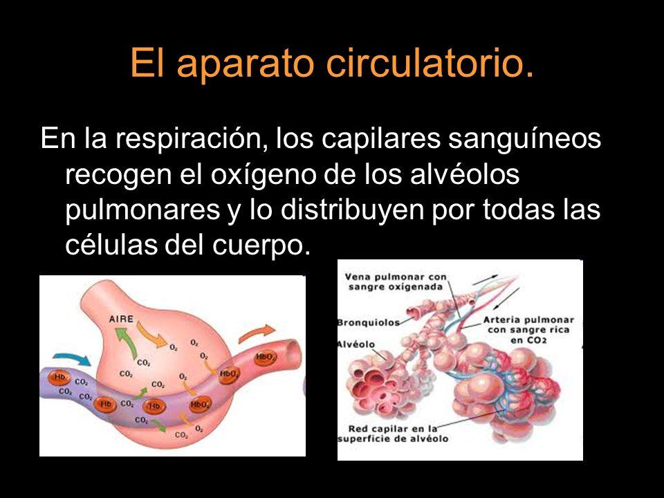 El aparato circulatorio. En la respiración, los capilares sanguíneos recogen el oxígeno de los alvéolos pulmonares y lo distribuyen por todas las célu