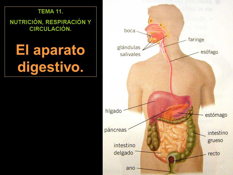 TEMA 11. NUTRICIÓN, RESPIRACIÓN Y CIRCULACIÓN. El aparato digestivo.