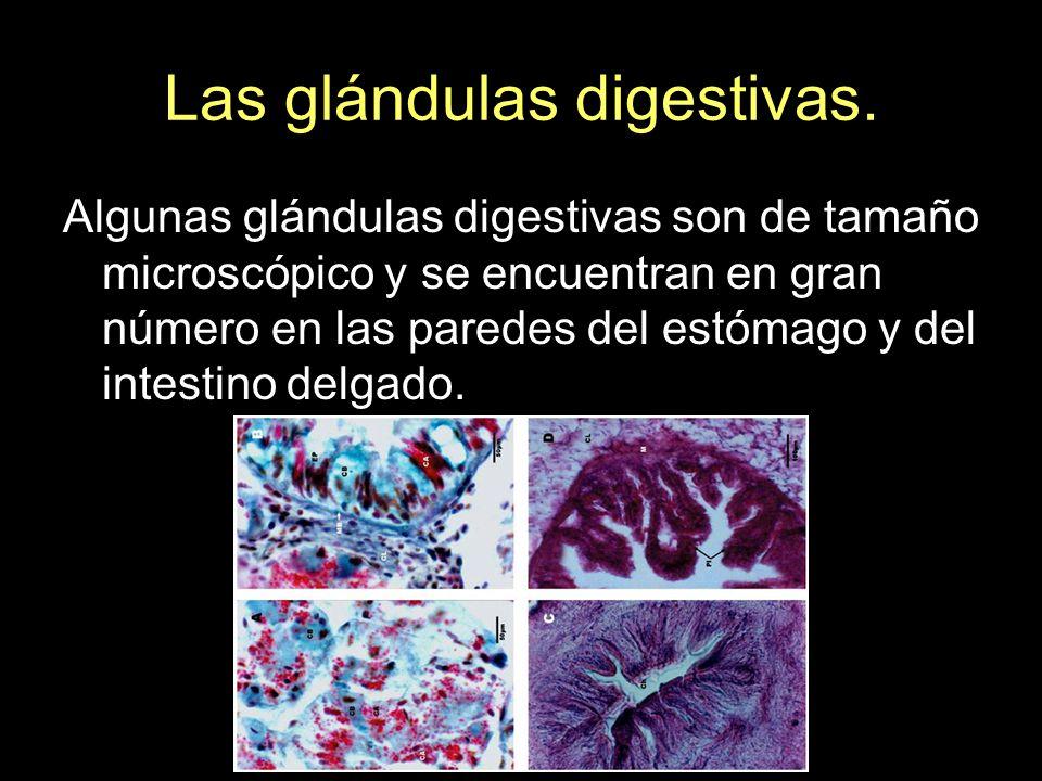Las glándulas digestivas. Algunas glándulas digestivas son de tamaño microscópico y se encuentran en gran número en las paredes del estómago y del int