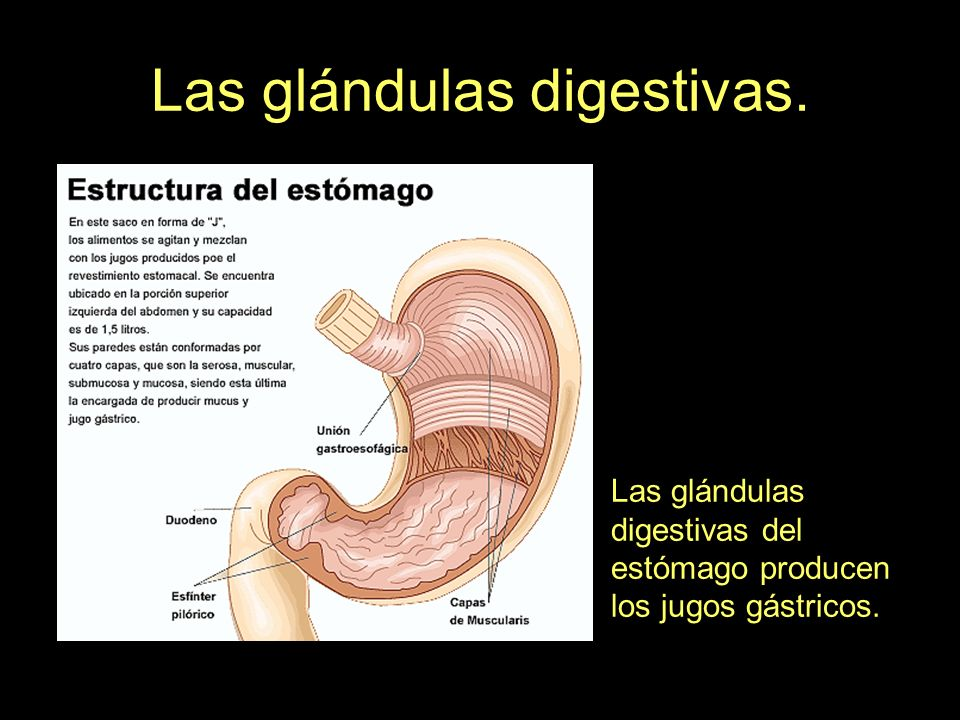 Las glándulas digestivas. Las glándulas digestivas del estómago producen los jugos gástricos.