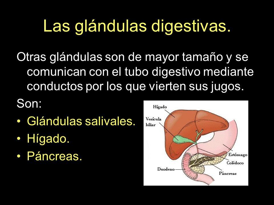 Las glándulas digestivas. Otras glándulas son de mayor tamaño y se comunican con el tubo digestivo mediante conductos por los que vierten sus jugos. S