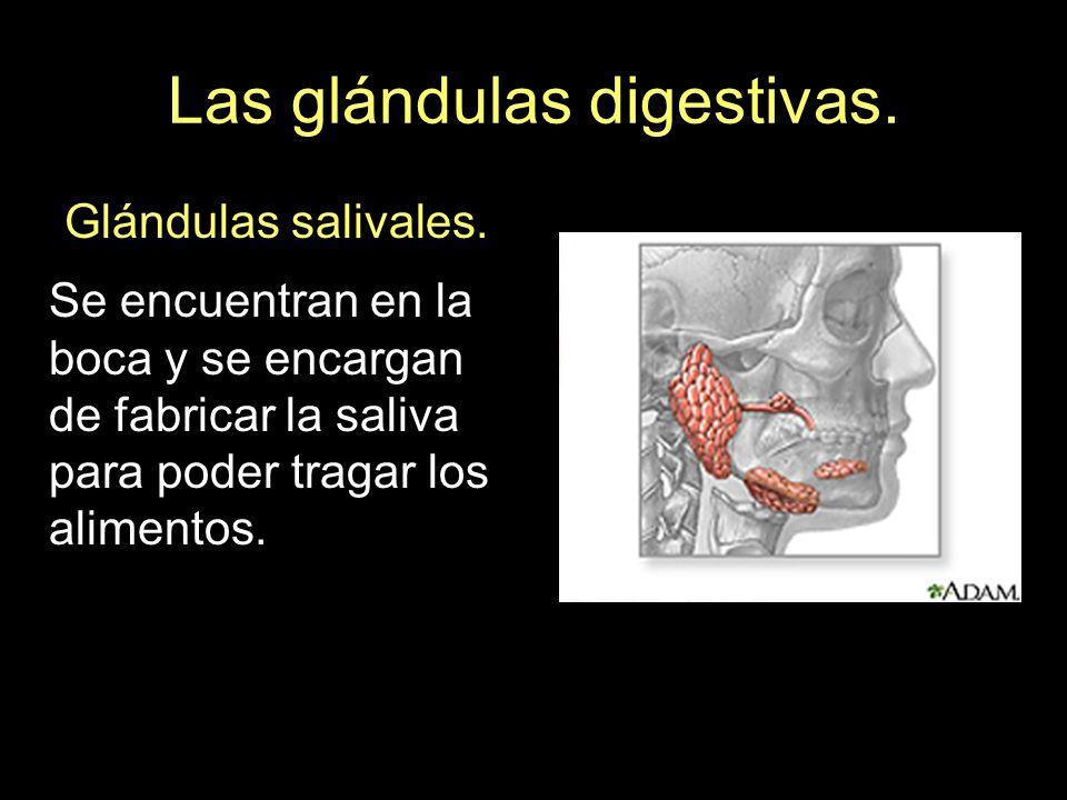 Las glándulas digestivas.Glándulas salivales.