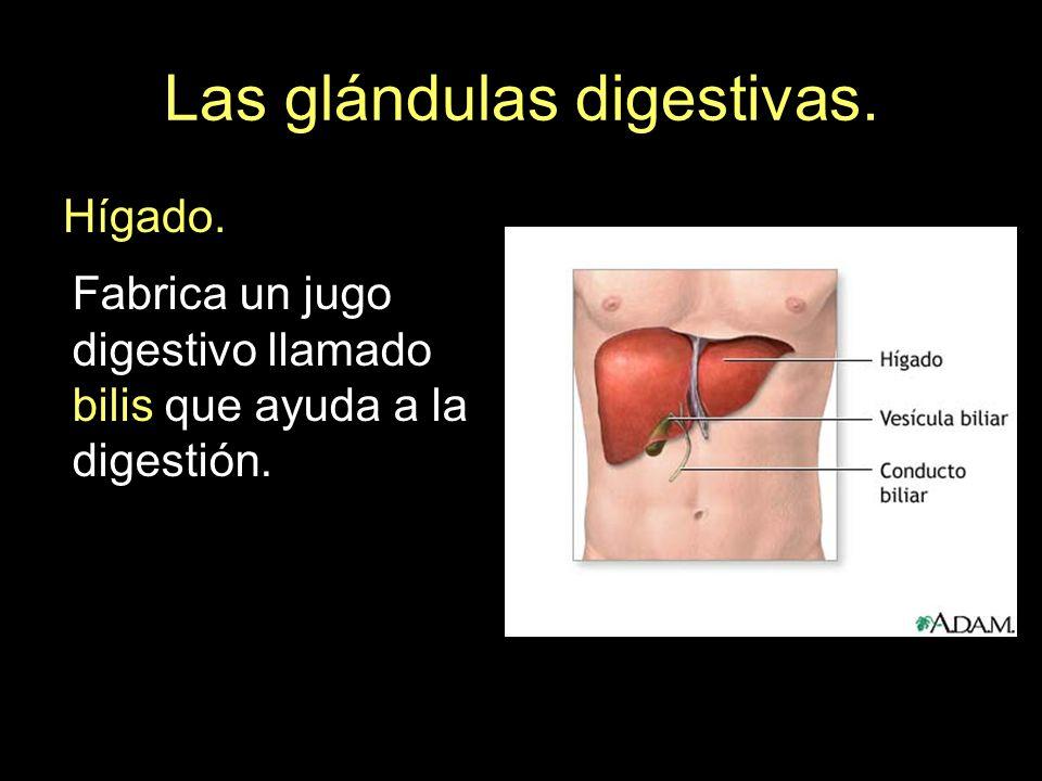 Las glándulas digestivas. Hígado. Fabrica un jugo digestivo llamado bilis que ayuda a la digestión.